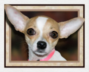 Pets Art Digital Art - Flying Chihuahua by Harry Hunsberger