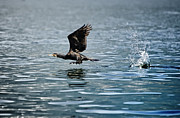 Flying Cormorant Bird Print by Mats Silvan