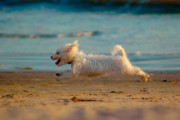 Maltese Dog Photos - Flying Dog by Harry Spitz