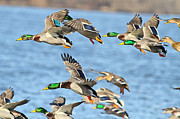 Mallards Prints - Flying Ducks Print by Robert Pearson
