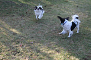 Japanese Chin Prints - Flying Ears Print by Caroline Bogart