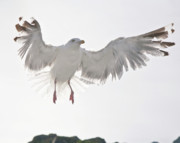 Sea Gull Photos - Flying European Herring Gull by Heiko Koehrer-Wagner