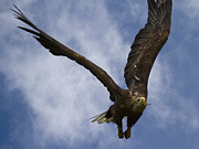 Eagle Metal Prints - Flying European Sea Eagle I Metal Print by Heiko Koehrer-Wagner