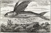 Biomechanical Art - Flying Fish, 17th Century Artwork by Middle Temple Library