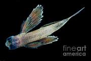 Dante Fenolio - Flying Fish