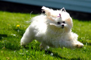 White Maltese Photos - Flying Fluff by Emily Stauring