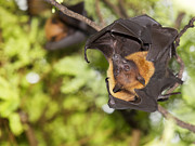 Wildlife Celebration Metal Prints - Flying Foxes Metal Print by Anek Suwannaphoom