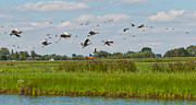 Natuur Photos - Flying geese in a Dutch landscape by Ruud Morijn