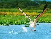 White River Scene Prints - Flying Great White Pelican Print by Anna Omelchenko