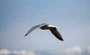 Seagull Photos - Flying Gull by Donna Munro