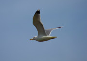 Seagull Photos - Flying Gull Wings Up by Donna Munro