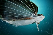 Alicante Posters - Flying Gurnard In A Fishing Net Poster by Angel Fitor