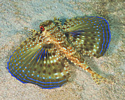 Flying Photos - Flying Gurnard On Sand In Carribean Sea by Karen Doody