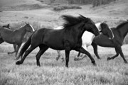 Black And White Photography Photos - Flying Mane by MH Ramona Swift
