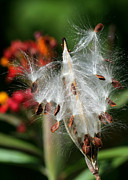Macro Art Posters - Flying Milkweed Silk Poster by Sabrina L Ryan