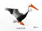 Pelican Drawings Metal Prints - Flying Pelican Metal Print by Frederic Kohli