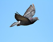 Bird In Flight Prints - Flying Pigeon . 7D8640 Print by Wingsdomain Art and Photography