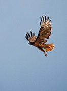 Red Tail Hawk Photographs Posters - Flying Red Tail Poster by Diana Grant