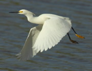Egrets Prints - Flying Snowy Egret Print by Robert Frederick