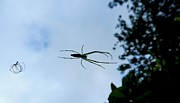 Flying Spider Posters - Flying Spider  Poster by Krishna I Nandagopal