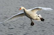 Flying Swan Photos - Flying Swan by Michal Boubin