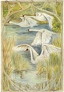 Swans... Prints - Flying Swans Print by Morgan Fitzsimons