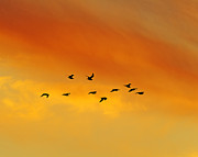 Larus Delawarensis Prints - Flying To The Roost Print by Tony Beck