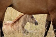 Grazing Horse Digital Art Posters - Foal and mare in a Saskatchewan pasture Poster by Mark Duffy