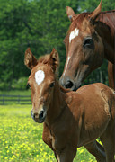 Wendy Fike Posters - Foal and Mom in Buttercup Field Poster by Wendy Fike