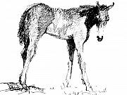 Horse Drawings - Foal In Black And White by Paul Miller