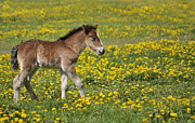 Field Pyrography Posters - Foal in field Poster by Conny Sjostrom