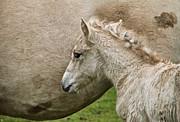 Foal Print by Odd Jeppesen