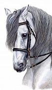 Dressage Drawings - Focus by Kristen Wesch