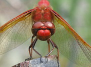 Macro Dragonfly Picture Posters - Focused Poster by Tina Marie