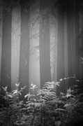 Black And White Photography Photos - Fog And Ferns In Redwoods Forest by Cathy Clark aka CLCsPics