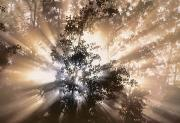 Light Beams Art - Fog And Light Beams In Aspen Forest by Darwin Wiggett