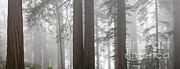 Featured Art - Foggy Coast Redwood Forest by Gregory G. Dimijian, M.D.