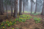 Forest Floor Prints - Foggy Forest  Medicine Bow  Wyoming Print by Nathan Mccreery