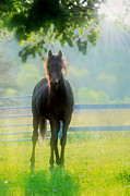 Arabian Horses Prints - Foggy Morning Colt Print by Emily Stauring