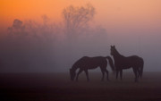 Quarter Horse Framed Prints - Foggy Morning  Framed Print by Janice M LeCocq