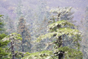 Foggy Tongass Rain Forest Print by Eggers   Photography