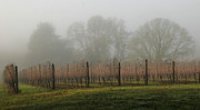 Pinot Framed Prints - Foggy Vineyard Framed Print by Jean Noren
