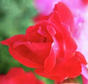 City Photography Digital Art - Folds of a Rose by Cathie Tyler