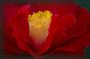 Camellia Photo Metal Prints - Folds of Red Metal Print by Jacky Parker