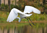 Egret Metal Prints - Follow Me Metal Print by Carol Groenen