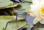 Dragonflies Mating Photos - Follow Me by Fraida Gutovich