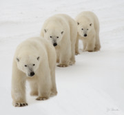 Polar Bears Prints - Follow the Leader Print by Joe Bonita