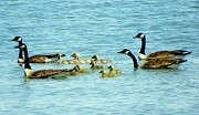 Waterway Birds Prints - Follow the Leader Print by Karen Wiles