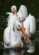 White Pelicans Framed Prints - Follow The Leader Framed Print by LaMarre Labadie