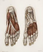 Hand-colored Lithograph Framed Prints - Foot Anatomy, 19th Century Illustration Framed Print by 